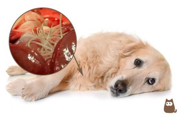 dirofilariose-canina-sintomas-e-tratamento-22877-600-945479-9Pn9mYnI Como eliminar o Verme do Cachorro da pele Humana